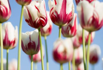 Podcast: Tulip Festival